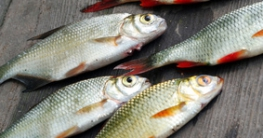 verschiedene Köderfische