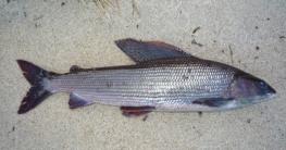 gefangene Äsche am Strand